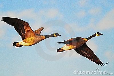 pair-flying-geese-5603205.jpg