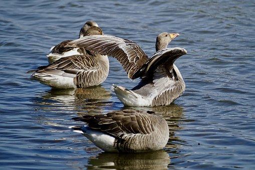 geese-2374459__340.jpg